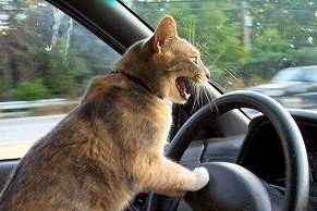 Driving Cat with Road Rage